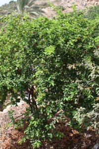 אסרולה גידול (אצרולה) פרי עץ