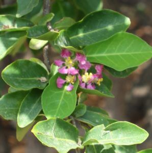 אסרולה גידול (אצרולה) פרחים