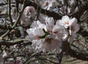 שקד גידול פרחים שקדיה