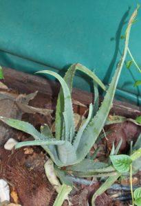 אלוורה צמח גידול