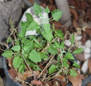 ירבוז - אמרנט גידול צמח