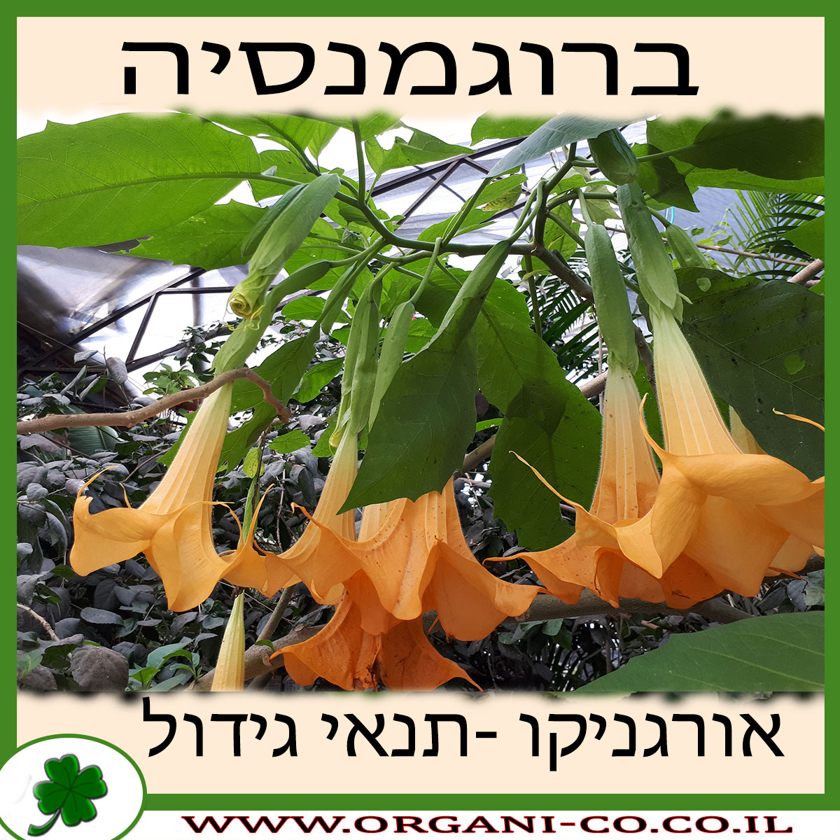 ברוגמנסיה גידול צמח