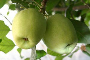 תפוח ענה גידול
