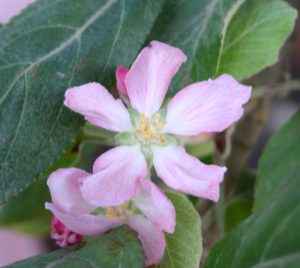 תפוח ענה גידול פרח