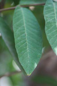 אנונה גידול עץ עלה