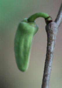 אנונה גידול עץ פרח