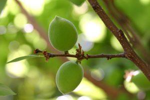 משמש פירות