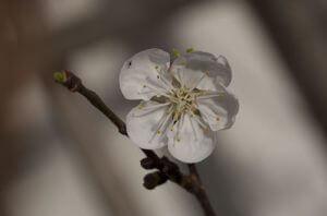 משמש פרחים גידול