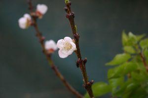 משמש פרחים