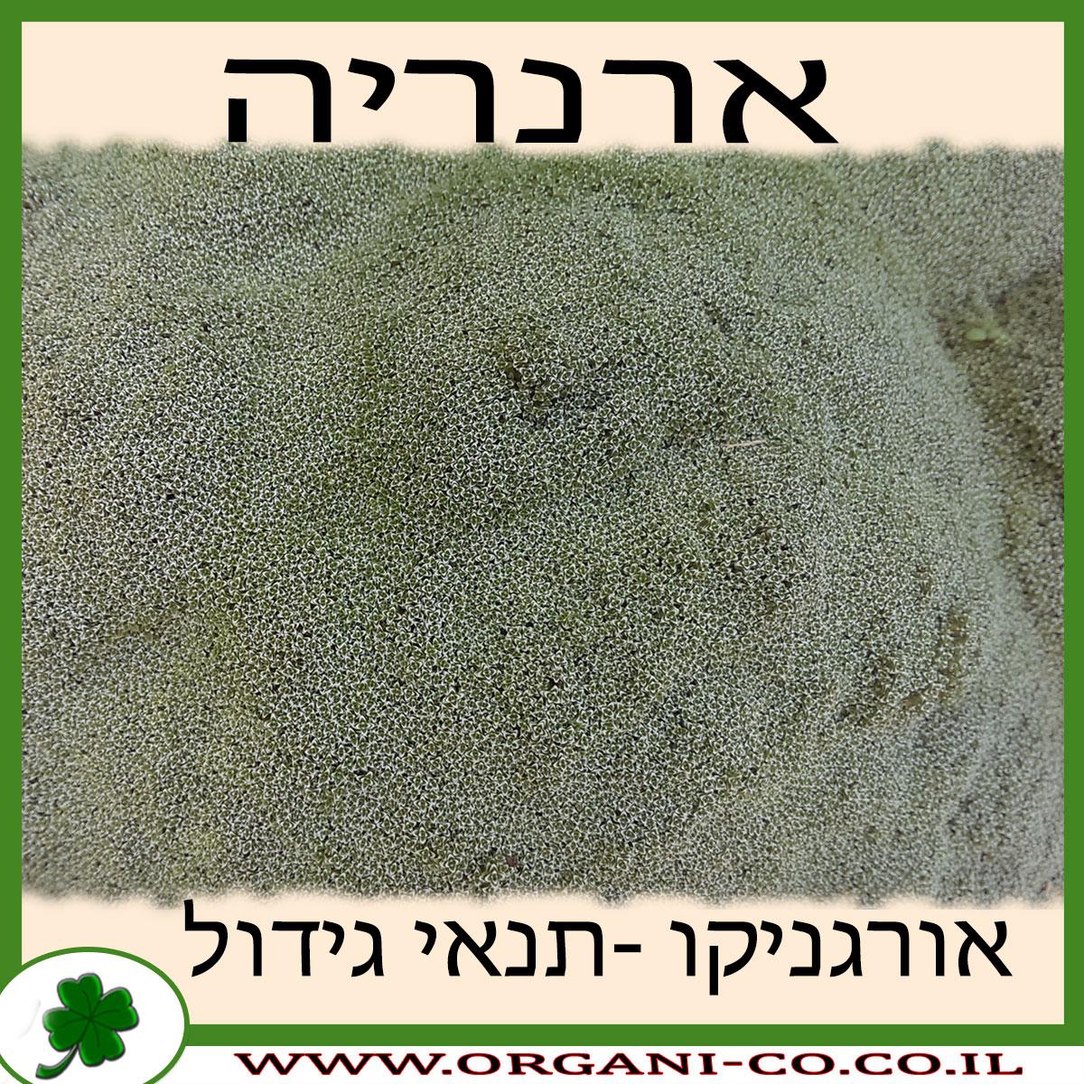 ארנריה גידול צמח