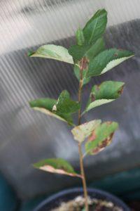 ארוניה גידול צמח