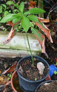 אבוקדו גידול עץ מזרע