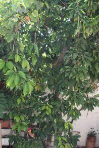 אבוקדו גידול עץ