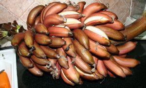 בננה גידול אדומה
