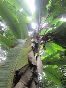בננה גידול עץ