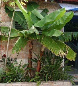 בננה גידול