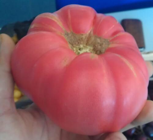 עגבניית ביפסטייק גידול