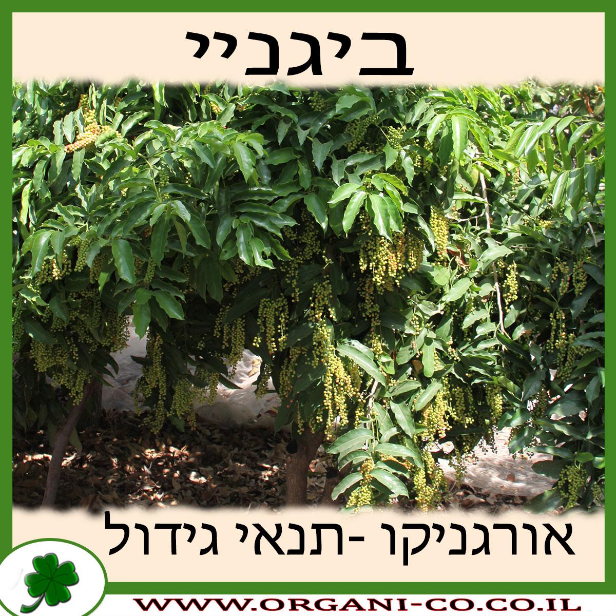ביגניי גידול צמח