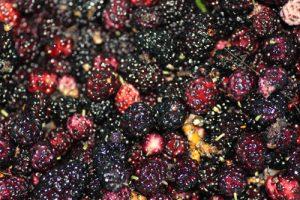 עץ תות שחור גידול פירות