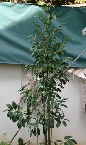 ספוטה שחורה עץ צעיר