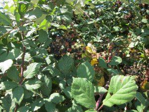 אוסנה גידול צמח