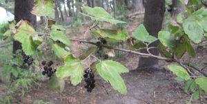 ענבי שועל גידול צמח עם פרי