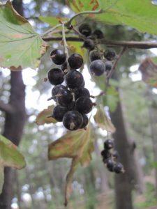 ענבי שועל גידול פרי