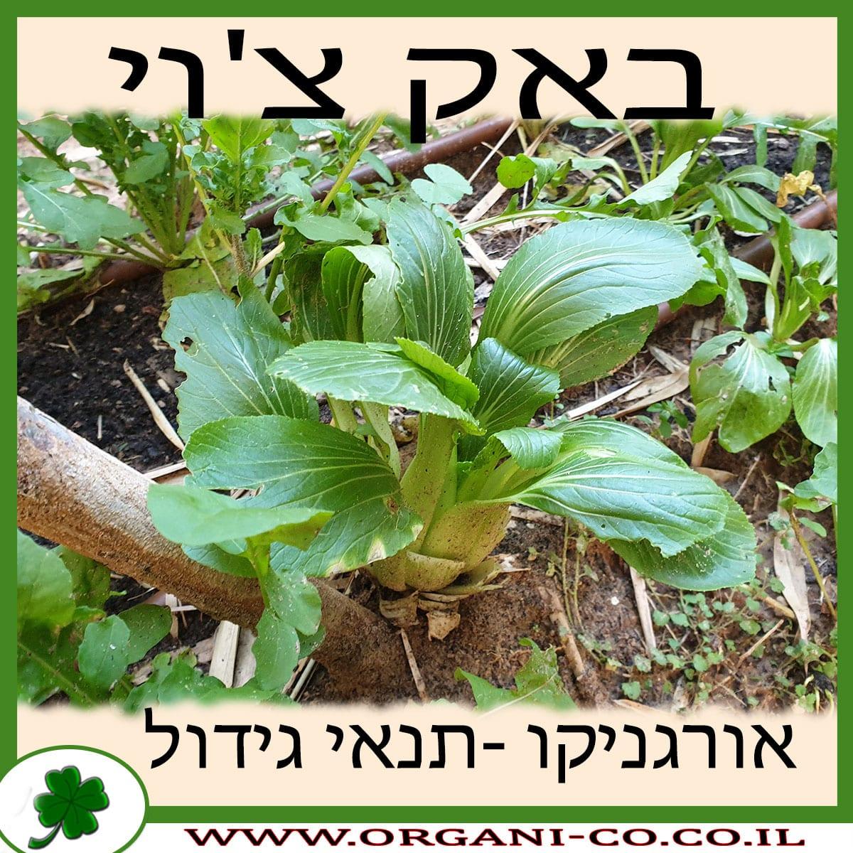 באק צ'וי גידול צמח