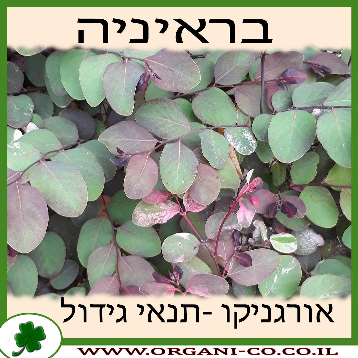 בראיניה גידול צמח