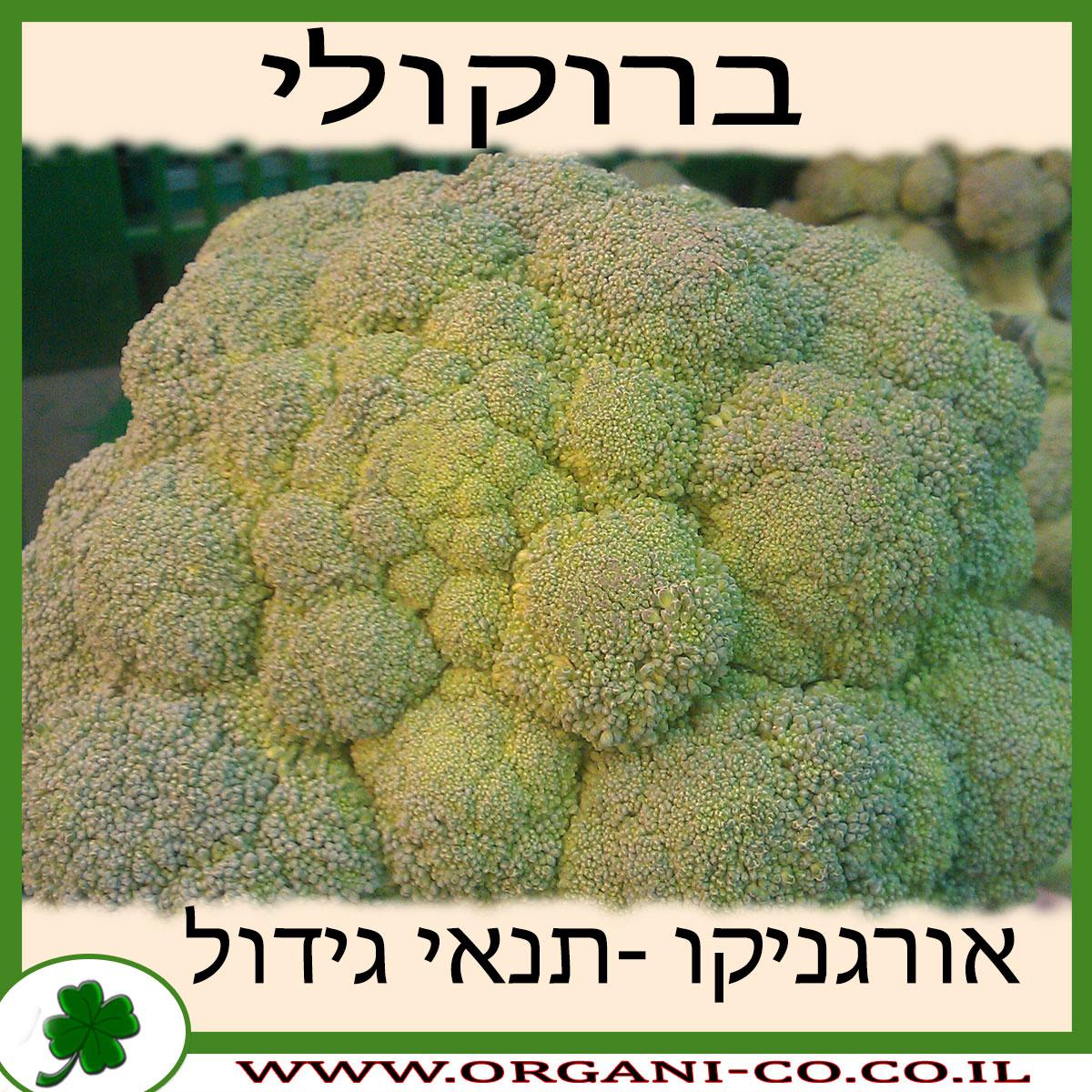 ברוקולי גידול צמח