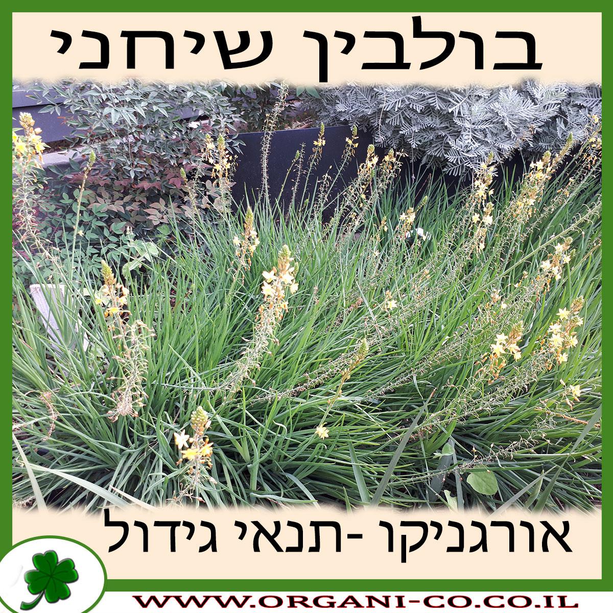בולבין שיחני גידול צמח