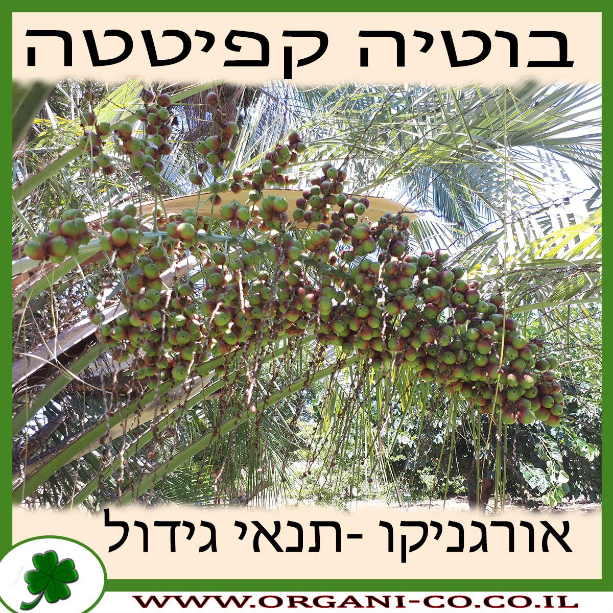 בוטיה קפיטטה גידול צמח