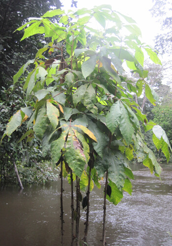קקאו עץ צמח