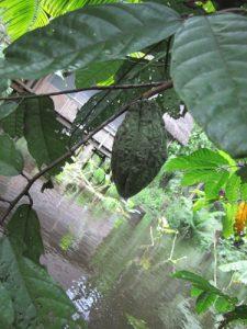 קקאו פרי צמח