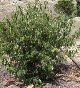 עץ דובדבן קפולין גידול