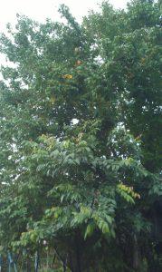 קרמבולה פרי הכוכב גידול עץ
