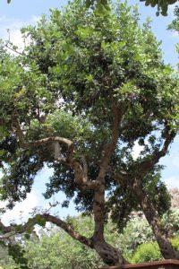 חרובים עץ גידול פירות עץ בוגר