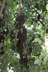 פרי עץ החרוב