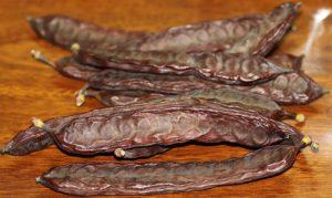 חרובים עץ גידול
