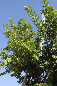 קאס גויאבה גידול צמח עץ
