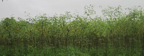 קאסווה גידול צמח