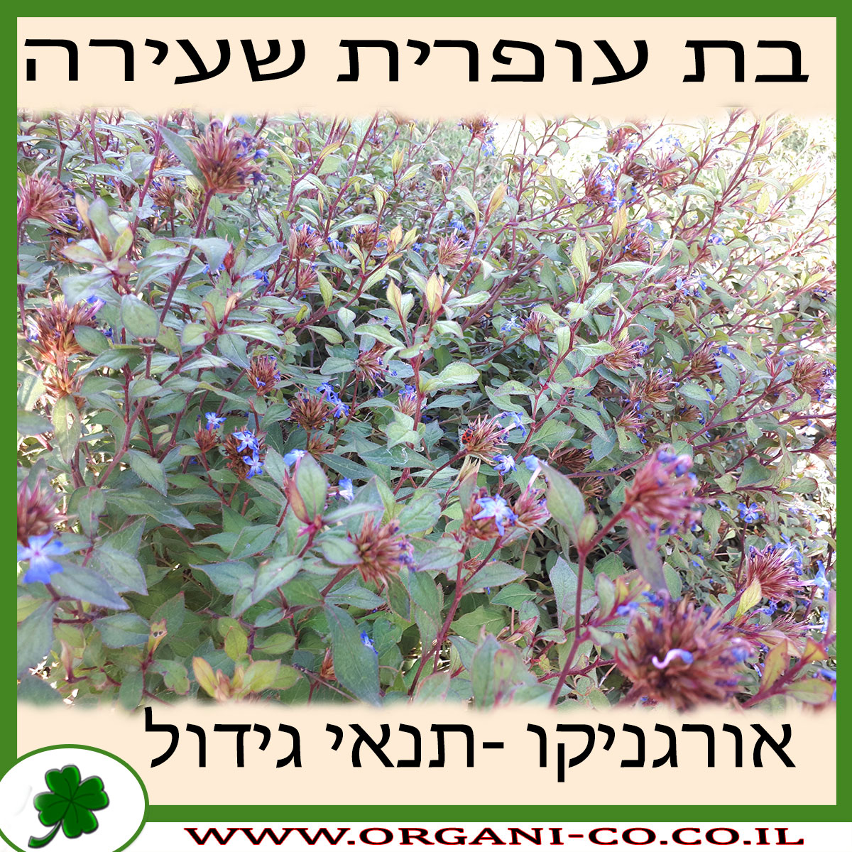 בת עופרית שעירה גידול צמח