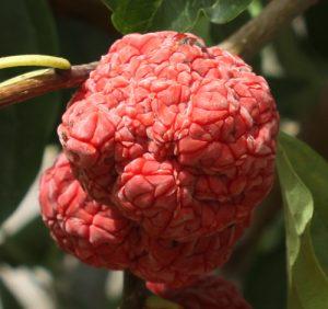 צ'ה - עץ תות סיני פרי