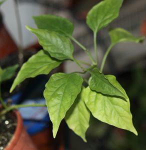 פלפל חריף גידול צמח