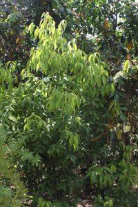 עץ קינמון גידול למאכל עלים