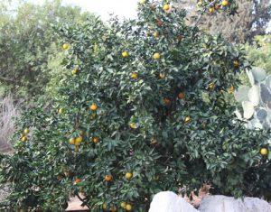 הדר עץ גידול פירות