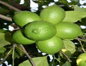 הדר עץ גידול לימונים