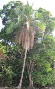 עץ קוקוס