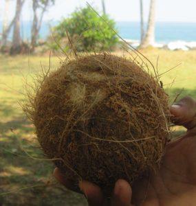 גידול עץ קוקוס
