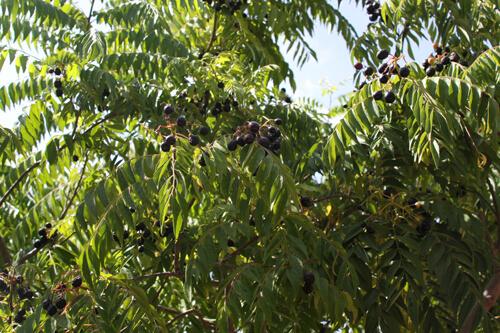 קארי גידול עץ פרי